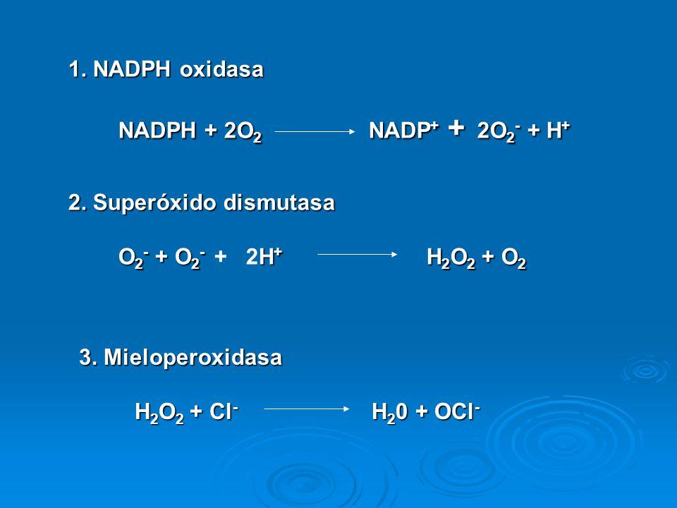 La enzima central en el estallido respiratorio es la NADPH oxidasa, la cual esta compuesto, por lo menos, de cuatro proteínas, dos se encuentran en la membrana plasmática: las subunidades del citocromo b 558, la gp91-phox y la p22- phox; y dos proteínas citosólicas, la p47- phox y la p67-phox.
