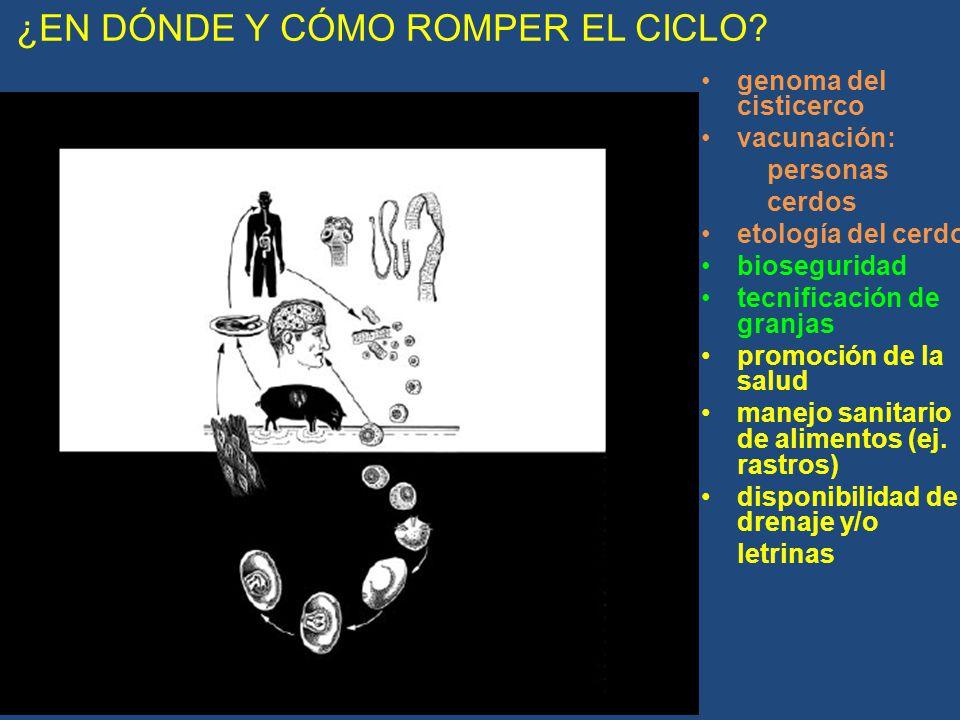 ¿EN DÓNDE Y CÓMO ROMPER EL CICLO? genoma del cisticerco vacunación: personas cerdos etología del cerdo bioseguridad tecnificación de granjas promoción