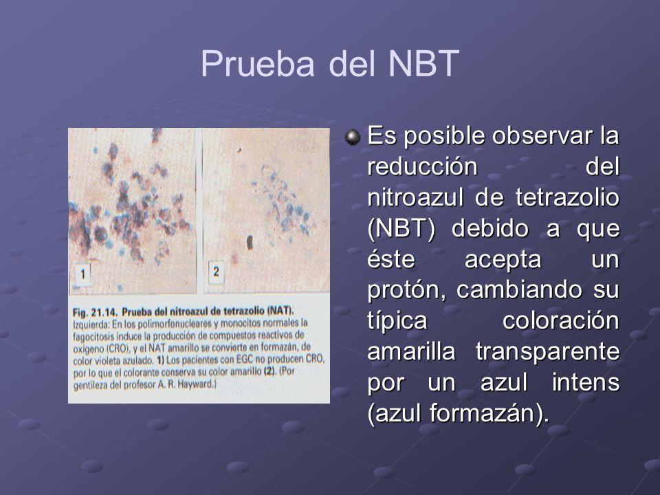 Prueba del NBT Es posible observar la reducción del nitroazul de tetrazolio (NBT) debido a que éste acepta un protón, cambiando su típica coloración a