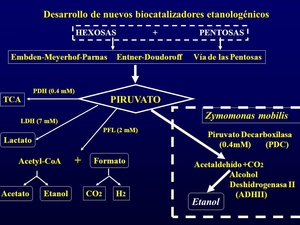 Desarrollo de nuevos biocatalizadores etanologénicos Embden-Meyerhof-Parnas Entner-Doudoroff Vía de las Pentosas PIRUVATO TCA Lactato Acetato Acetyl-C