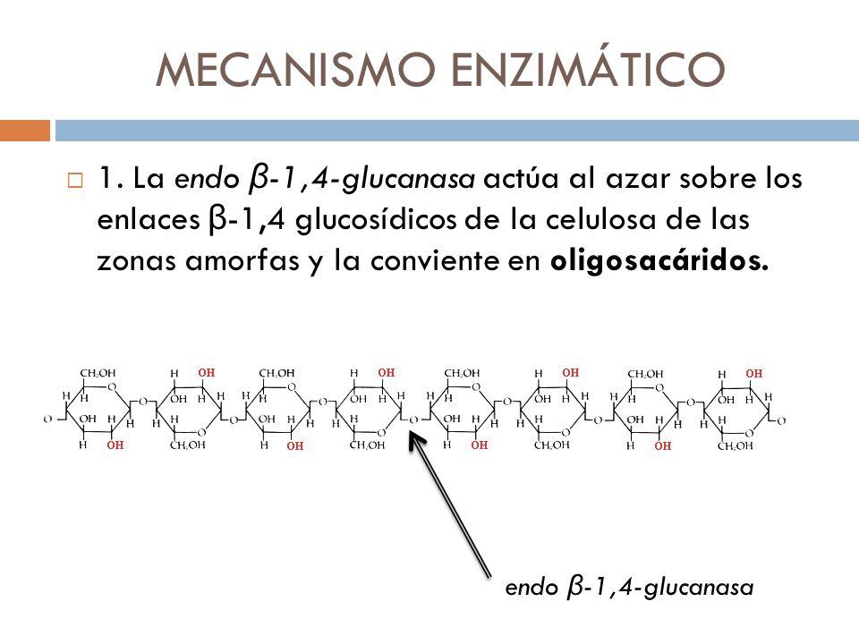 MECANISMO ENZIMÁTICO 1. La endo β -1,4-glucanasa actúa al azar sobre los enlaces β -1,4 glucosídicos de la celulosa de las zonas amorfas y la convient