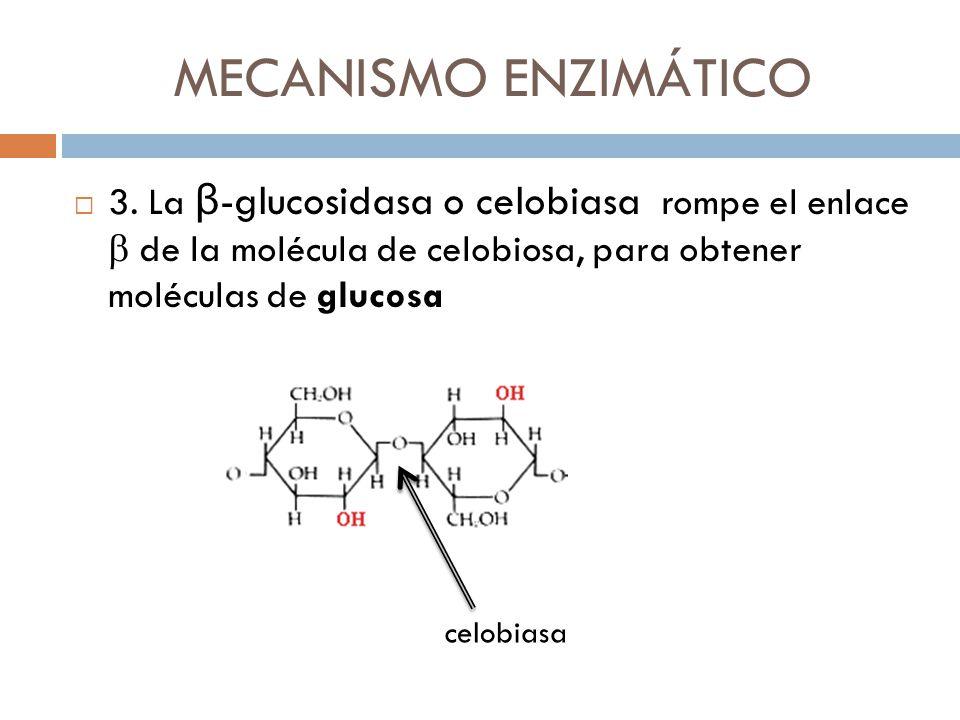 MECANISMO ENZIMÁTICO 3. La β -glucosidasa o celobiasa rompe el enlace de la molécula de celobiosa, para obtener moléculas de glucosa celobiasa