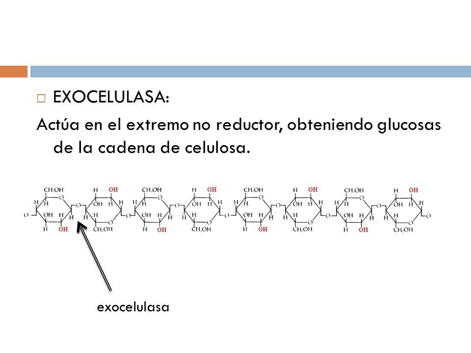 EXOCELULASA: Actúa en el extremo no reductor, obteniendo glucosas de la cadena de celulosa. exocelulasa