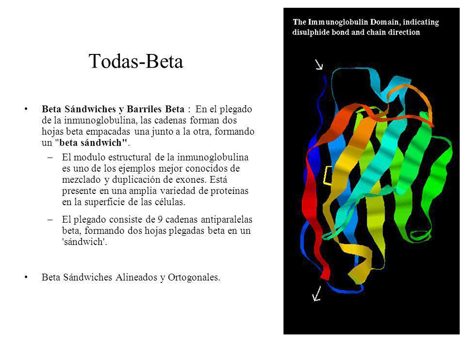Todas-Beta Beta Sándwiches y Barriles Beta : En el plegado de la inmunoglobulina, las cadenas forman dos hojas beta empacadas una junto a la otra, for
