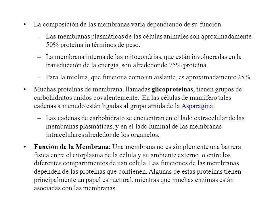 La composición de las membranas varía dependiendo de su función. –Las membranas plasmáticas de las células animales son aproximadamente 50% proteína i