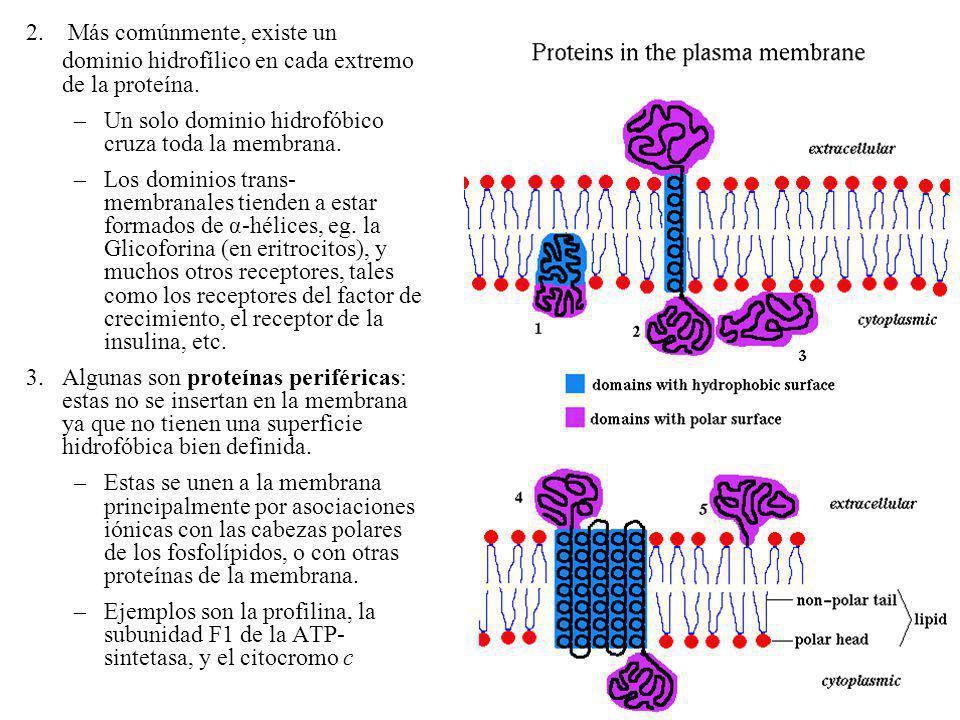 2. Más comúnmente, existe un dominio hidrofílico en cada extremo de la proteína. –Un solo dominio hidrofóbico cruza toda la membrana. –Los dominios tr