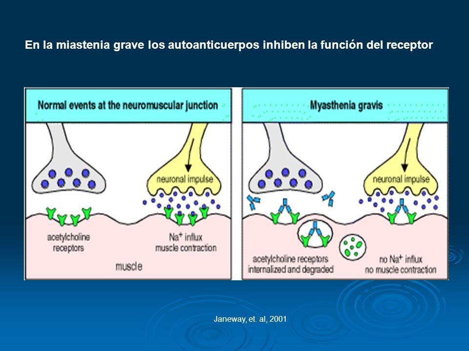 En la miastenia grave los autoanticuerpos inhiben la función del receptor Janeway, et. al, 2001