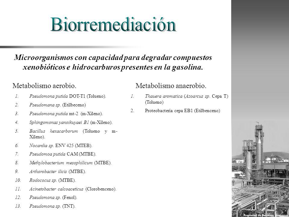 Microorganismos con capacidad para degradar compuestos xenobióticos e hidrocarburos presentes en la gasolina. Metabolismo aerobio. 1.Pseudomona putida
