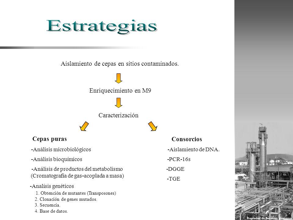 Aislamiento de cepas en sitios contaminados. Enriquecimiento en M9 Cepas puras Consorcios Caracterización -Análisis microbiológicos -Análisis bioquími
