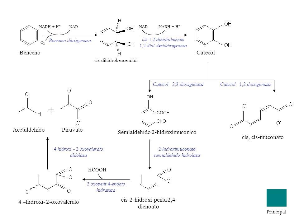 Benceno NADH + H + NAD O2O2 Benceno dioxigenasa cis-dihidrobencendiol cis 1,2 dihidrobencen 1,2 diol deshidrogenasa Catecol 2,3 dioxigenasaCatecol 1,2