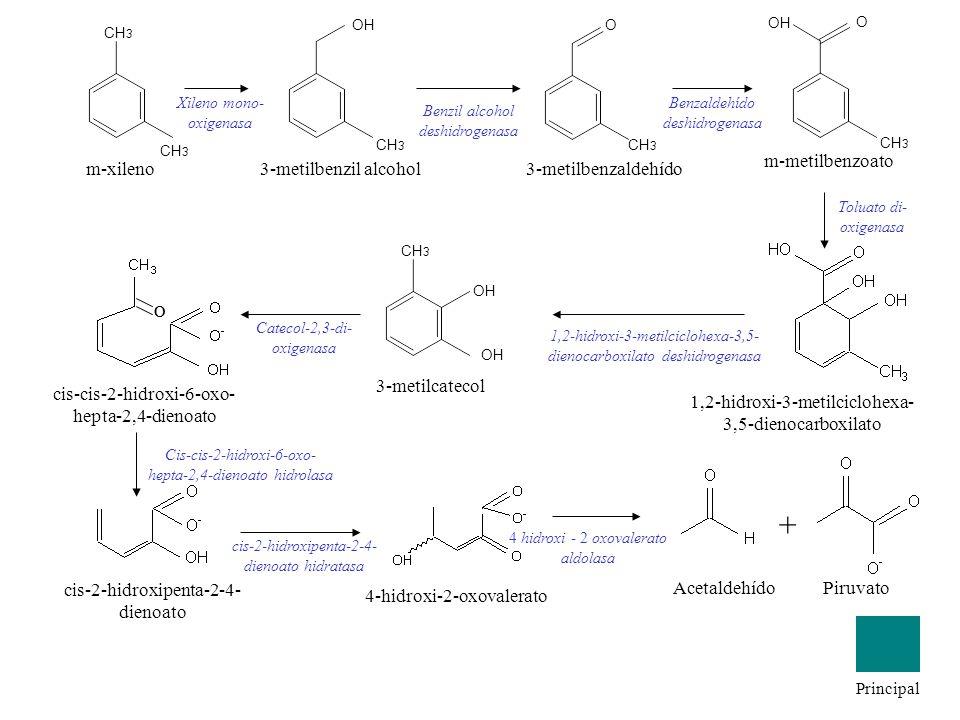 m-xileno CH 3 OH 3-metilbenzil alcohol Xileno mono- oxigenasa CH 3 O 3-metilbenzaldehído Benzil alcohol deshidrogenasa Benzaldehído deshidrogenasa CH