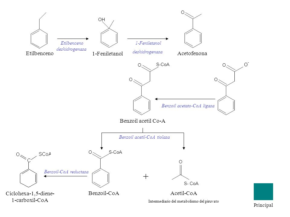 Etilbenceno OH 1-Feniletanol O Acetofenona Etilbenceno deshidrogenasa 1-Feniletanol deshidrogenasa O O O - Benzoil acetil Co-A S-CoA O O Benzoil aceta