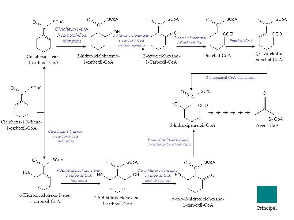 Ciclohexa-1-ene- 1-carboxil-CoA 6-Hidroxiciclohexa-1-ene- 1-carboxil-CoA 2,6-dihidroxiclohexano- 1-carboxil-CoA 6-oxo-2-hidroxiclohexano- 1-carboxil-C