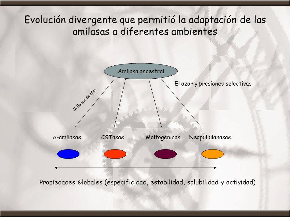 Evolución divergente que permitió la adaptación de las amilasas a diferentes ambientes Propiedades Globales (especificidad, estabilidad, solubilidad y actividad) -amilasas Amilasa ancestral CGTasasMaltogénicasNeopullulanasas Millones de años El azar y presiones selectivas