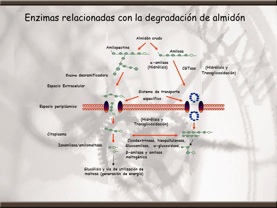 Enzimas relacionadas con la degradación de almidón