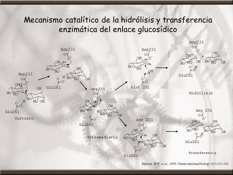 Mecanismo catalítico de la hidrólisis y transferencia enzimática del enlace glucosídico Dijkstra, B.W. et al., 1999. Nature structural biology 6(5):43