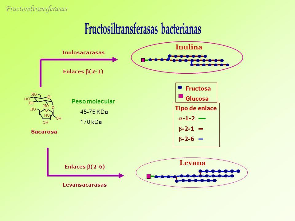 Sacarosa Inulosacarasas Enlaces (2-1) O HO OH HO OH o HO o Enlaces (2-6) Levansacarasas Inulina Levana Tipo de enlace -1-2 -2-1 -2-6 Fructosa Glucosa Peso molecular 45-75 KDa 170 kDa