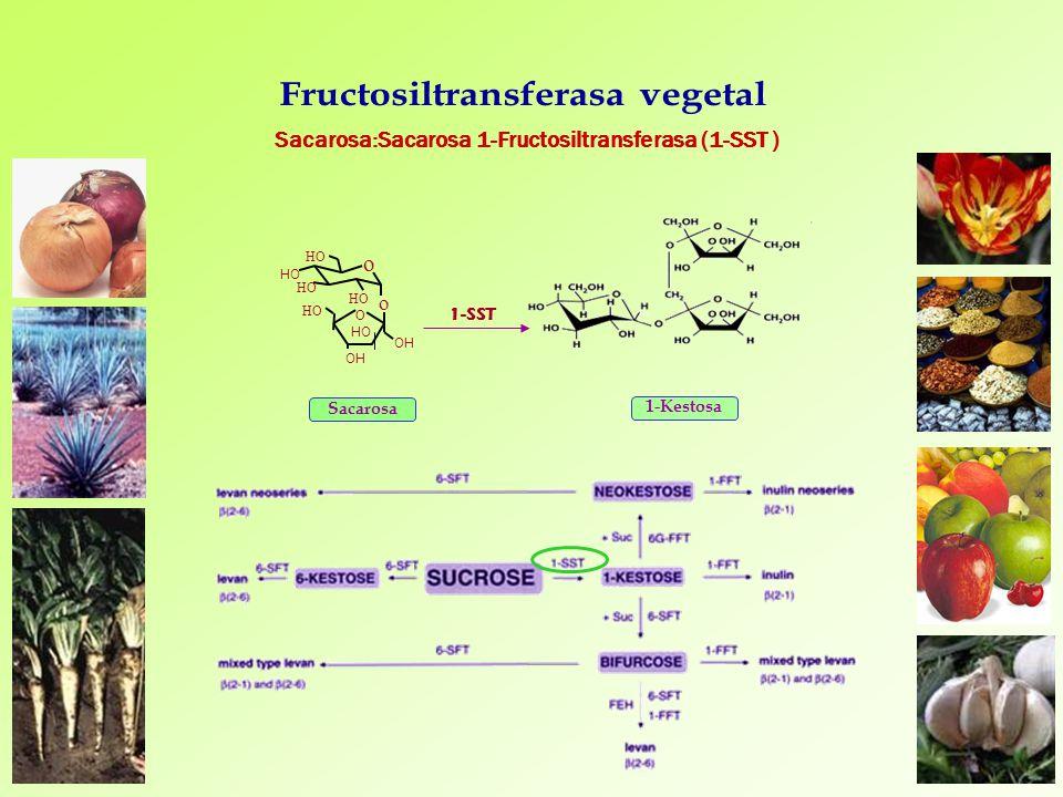 Sacarosa 1-SST 1-Kestosa Sacarosa:Sacarosa 1-Fructosiltransferasa (1-SST ) O HO OH HO OH o HO o