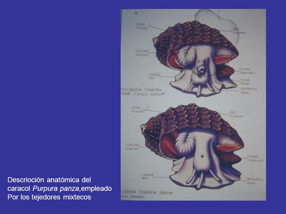Descrioción anatómica del caracol Purpura panza,empleado Por los tejedores mixtecos