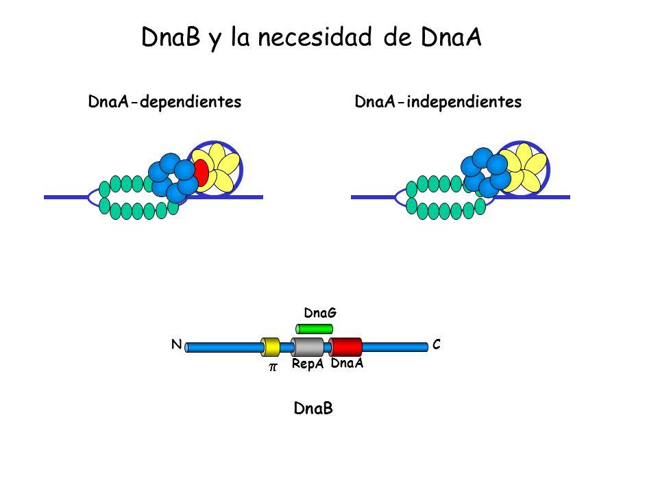 DnaA-dependientes DnaA-independientes DnaG CN RepA DnaA DnaB DnaB y la necesidad de DnaA