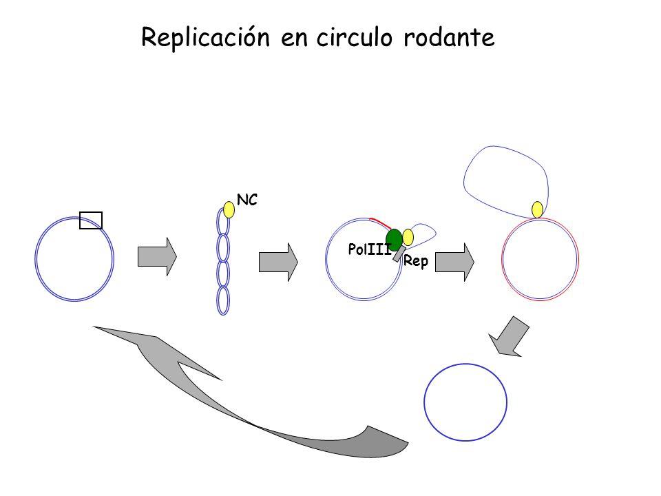 Rep PolIII NC Replicación en circulo rodante