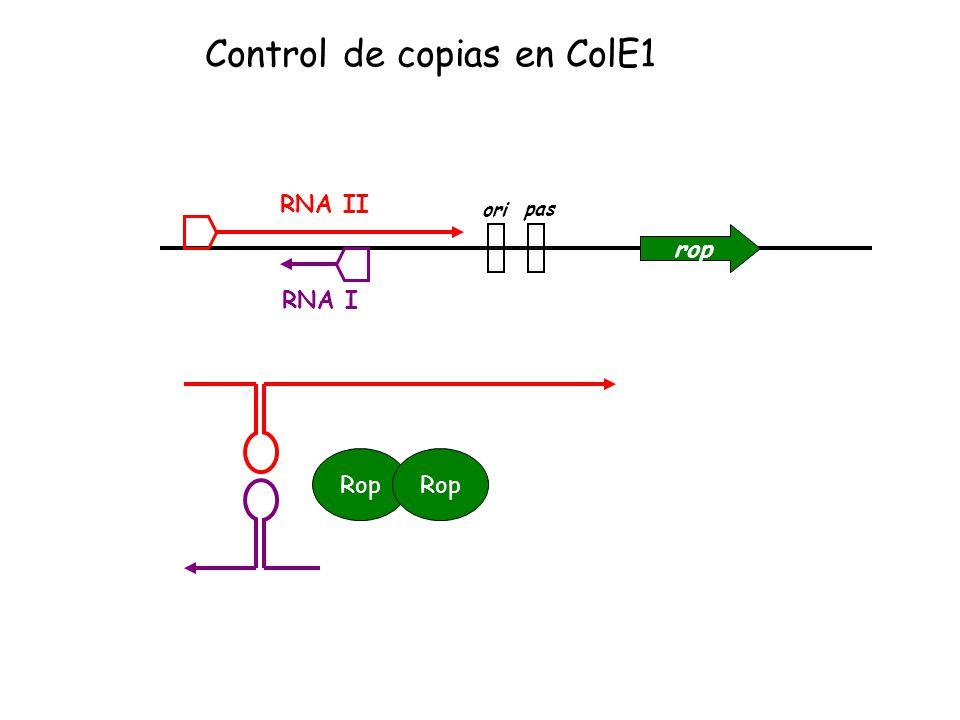 rop ori pas RNA II RNA I Control de copias en ColE1 Rop