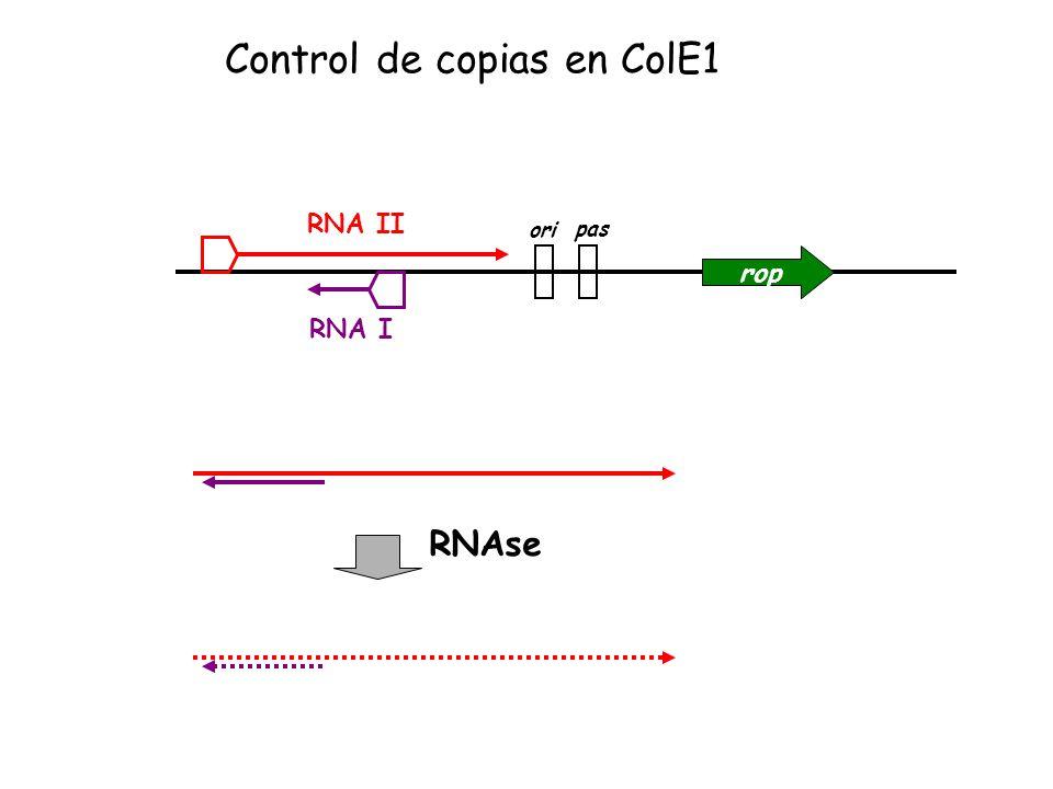 rop ori pas RNA II RNA I RNAse Control de copias en ColE1