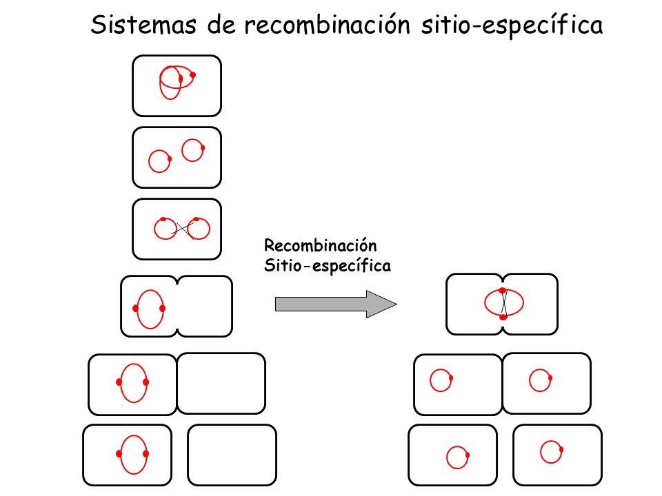Recombinación Sitio-específica Sistemas de recombinación sitio-específica