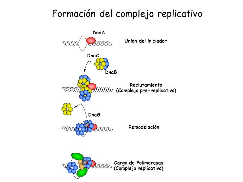 Unión del iniciador Remodelación Carga de Polimerasas (Complejo replicativo) Reclutamiento (Complejo pre-replicativo) DnaA DnaC DnaB DnaG Formación de