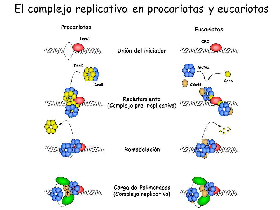 Unión del iniciador Remodelación Carga de Polimerasas (Complejo replicativo) Reclutamiento (Complejo pre-replicativo) Eucariotas ORC Procariotas DnaA
