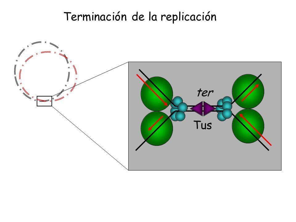 DnaG, PolIIIDnaB-DnaC 5´ 3´ X-174 PriB DnaT PriC PriA Paso de monocadena a bicadena M13 5´ 3´ RNApol