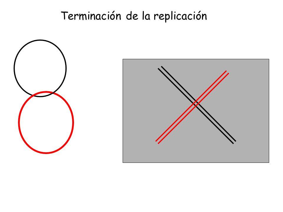 TopoIV Terminación de la replicación