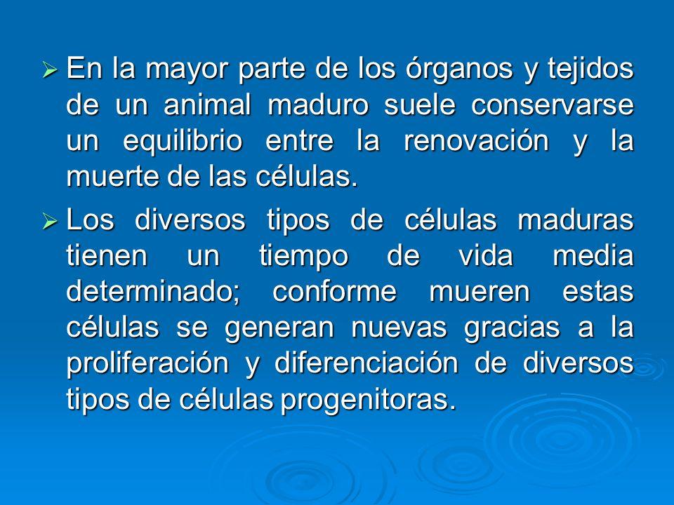 En la mayor parte de los órganos y tejidos de un animal maduro suele conservarse un equilibrio entre la renovación y la muerte de las células. En la m