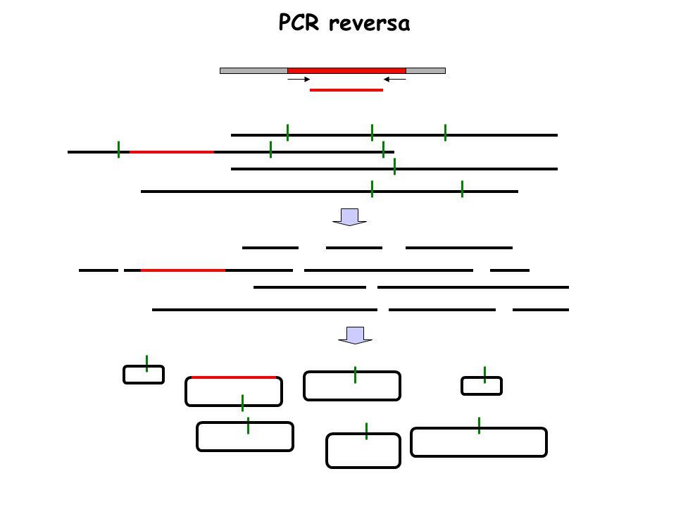 PCR reversa