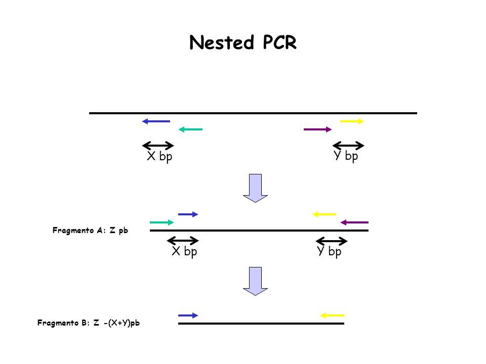 X bp Y bp X bpY bp Fragmento A: Z pb Fragmento B: Z -(X+Y)pb Nested PCR