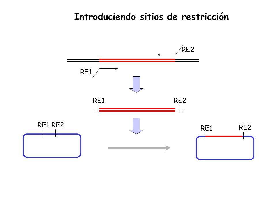 RE1 RE2 RE1RE2 RE1 RE2 RE1RE2 Introduciendo sitios de restricción