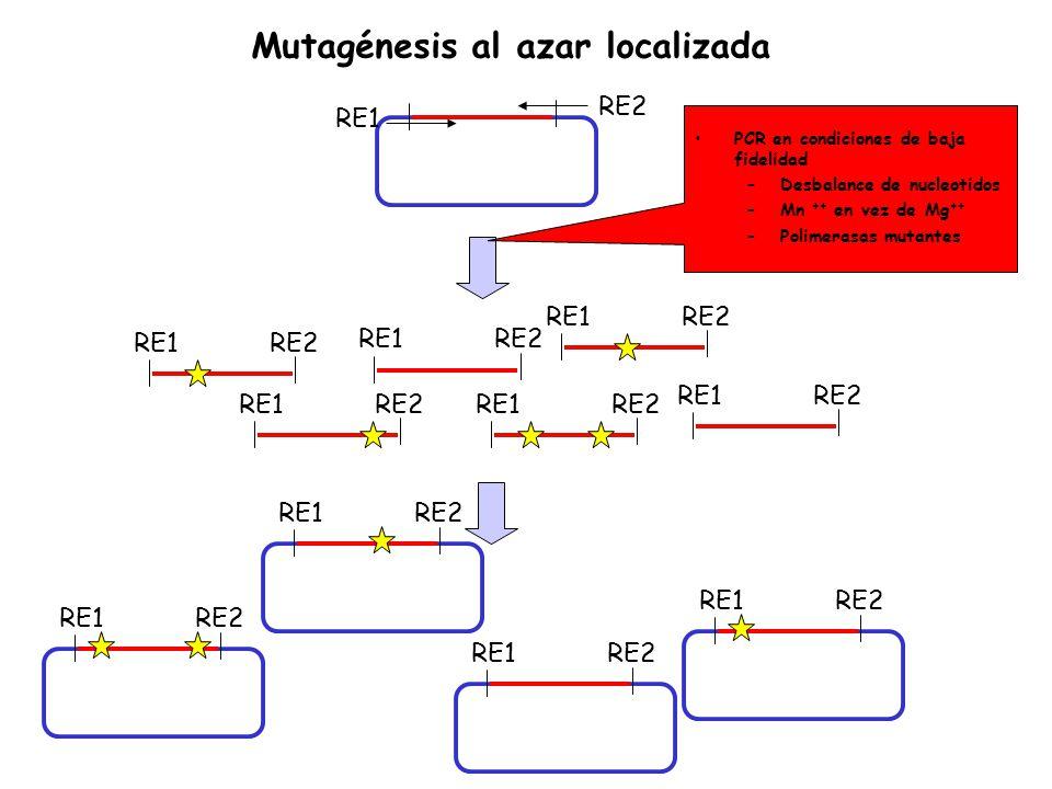 RE1 RE2 RE1RE2 RE1RE2 RE1RE2 RE1RE2 RE1RE2 RE1RE2 RE1RE2 RE1RE2 RE1RE2 RE1RE2 PCR en condiciones de baja fidelidad –Desbalance de nucleotidos –Mn ++ e