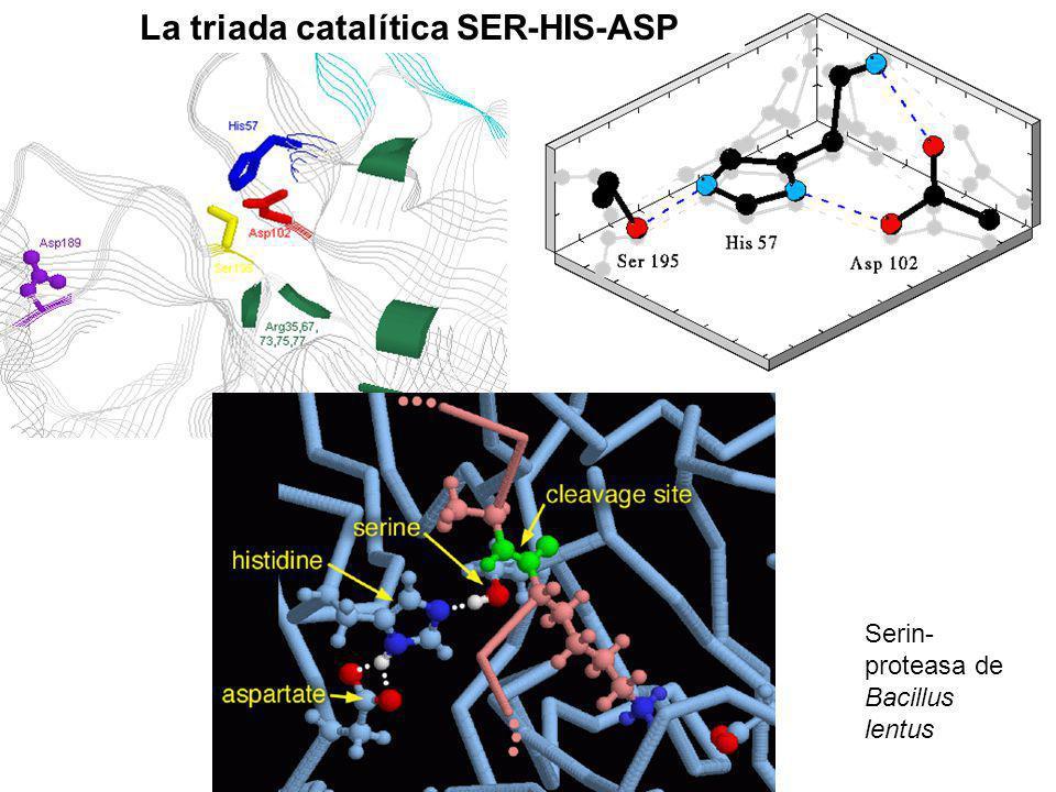 La triada catalítica SER-HIS-ASP Serin- proteasa de Bacillus lentus