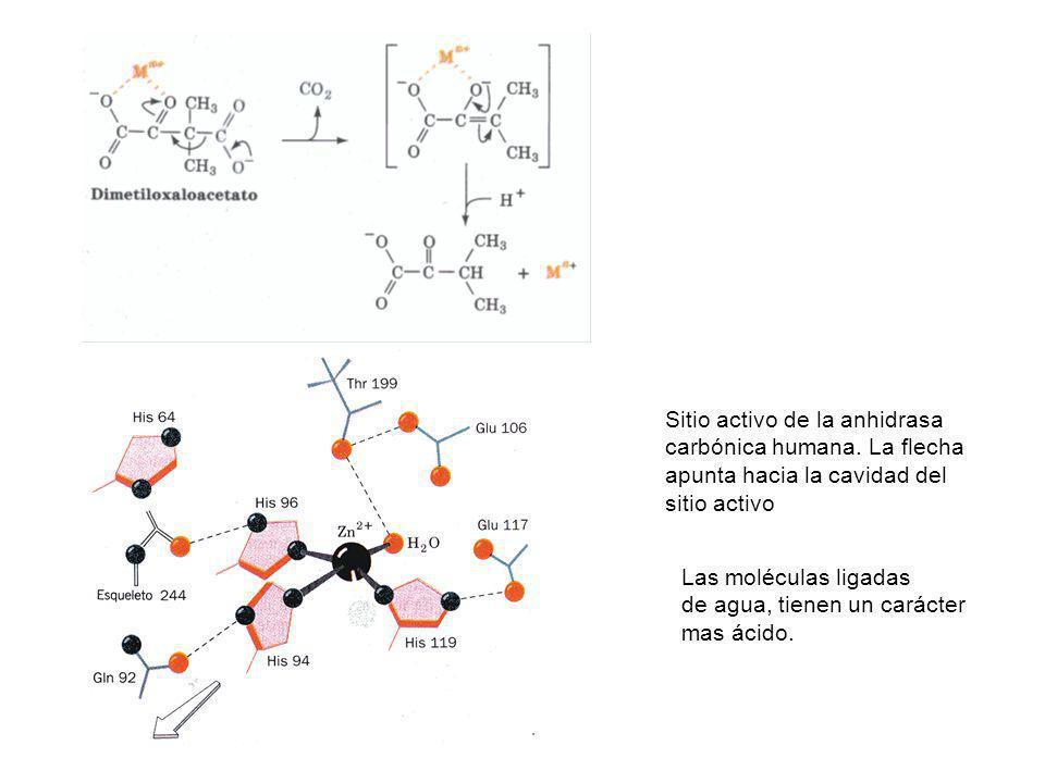 Sitio activo de la anhidrasa carbónica humana. La flecha apunta hacia la cavidad del sitio activo Las moléculas ligadas de agua, tienen un carácter ma