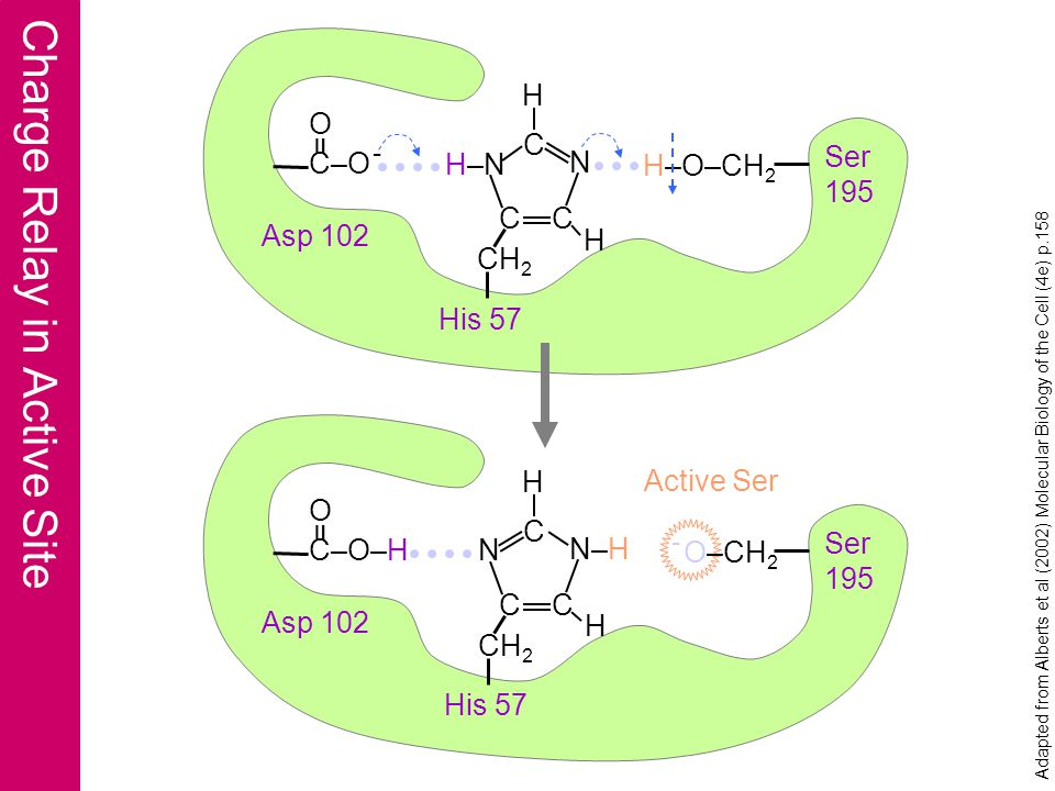 Charge Relay in Active Site Ser 195 His 57 Asp 102 H–O–CH 2 O C–O - = Active Ser H–N N CC C H H CH 2 Ser 195 His 57 Asp 102 - O–CH 2 O C–O–H = N N–H CC C H H CH 2 Adapted from Alberts et al (2002) Molecular Biology of the Cell (4e) p.158
