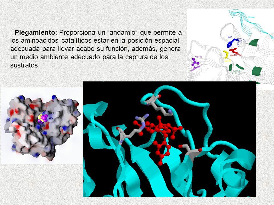 - Plegamiento: Proporciona un andamio que permite a los aminoácidos catalíticos estar en la posición espacial adecuada para llevar acabo su función, además, genera un medio ambiente adecuado para la captura de los sustratos.