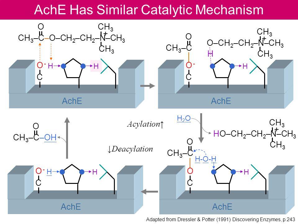 H AchE AchE Has Similar Catalytic Mechanism O -CO -C H O CH 3 CH 3 –C–O–CH 2 –CH 2 –N–CH 3 CH 3 + H-O-HH-O-H AchE OCOC H O CH 3 –C CH 3 HO–CH 2 –CH 2