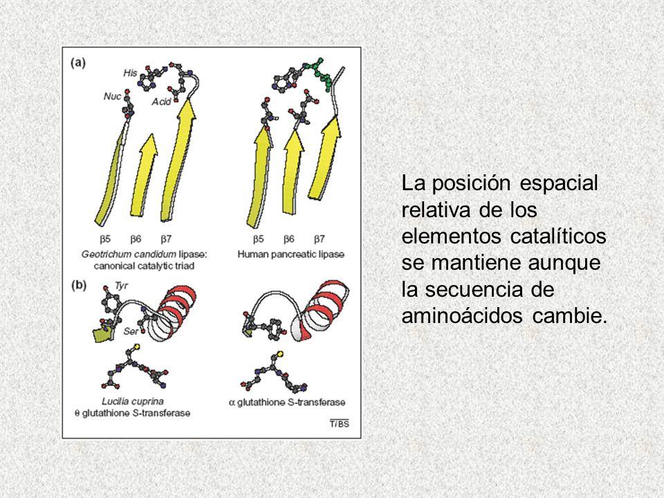 La posición espacial relativa de los elementos catalíticos se mantiene aunque la secuencia de aminoácidos cambie.