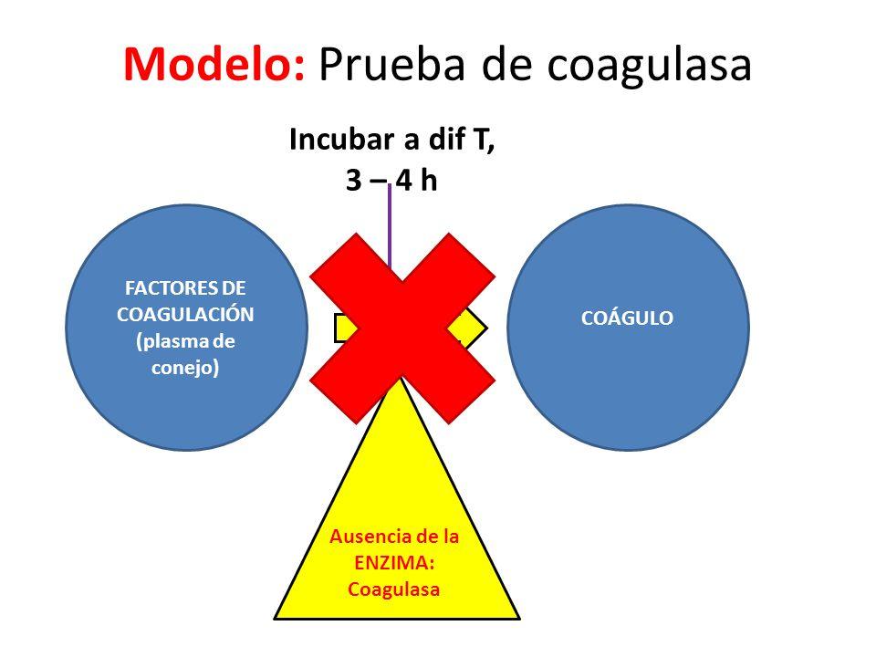 Modelo: Prueba de coagulasa FACTORES DE COAGULACIÓN (plasma de conejo) COÁGULO Ausencia de la ENZIMA: Coagulasa Incubar a dif T, 3 – 4 h