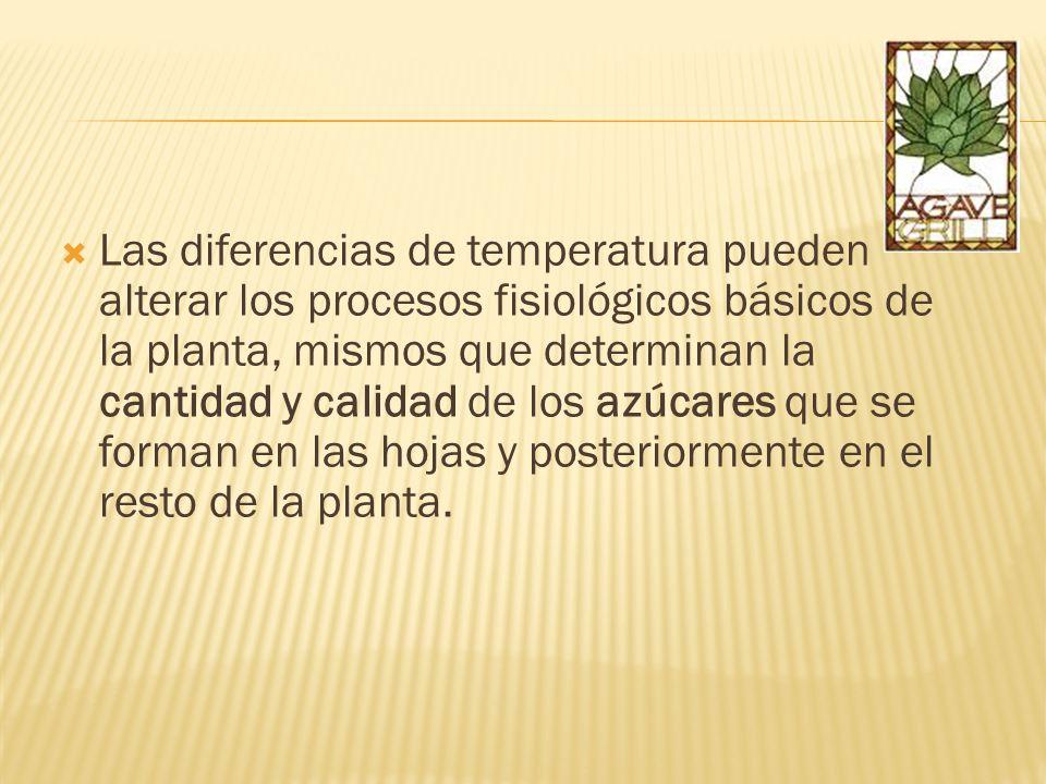 Las diferencias de temperatura pueden alterar los procesos fisiológicos básicos de la planta, mismos que determinan la cantidad y calidad de los azúca