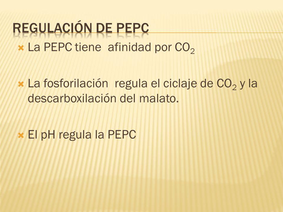 La PEPC tiene afinidad por CO 2 La fosforilación regula el ciclaje de CO 2 y la descarboxilación del malato. El pH regula la PEPC