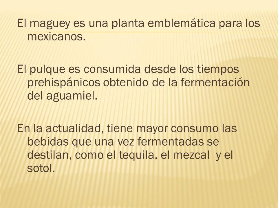 El maguey es una planta emblemática para los mexicanos. El pulque es consumida desde los tiempos prehispánicos obtenido de la fermentación del aguamie