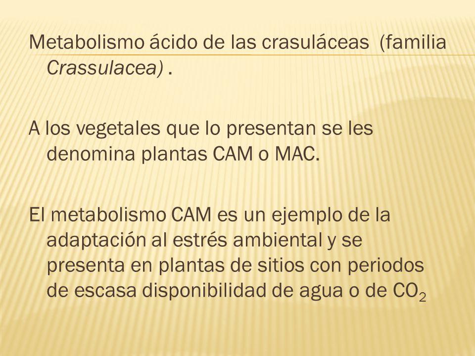 Metabolismo ácido de las crasuláceas (familia Crassulacea). A los vegetales que lo presentan se les denomina plantas CAM o MAC. El metabolismo CAM es