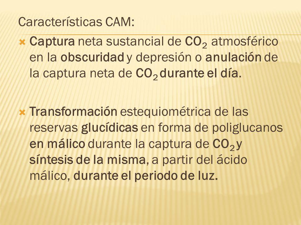 Características CAM: Captura neta sustancial de CO 2 atmosférico en la obscuridad y depresión o anulación de la captura neta de CO 2 durante el día. T