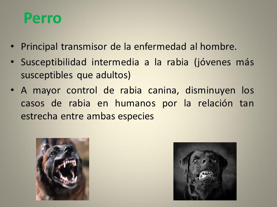 Perro Principal transmisor de la enfermedad al hombre. Susceptibilidad intermedia a la rabia (jóvenes más susceptibles que adultos) A mayor control de